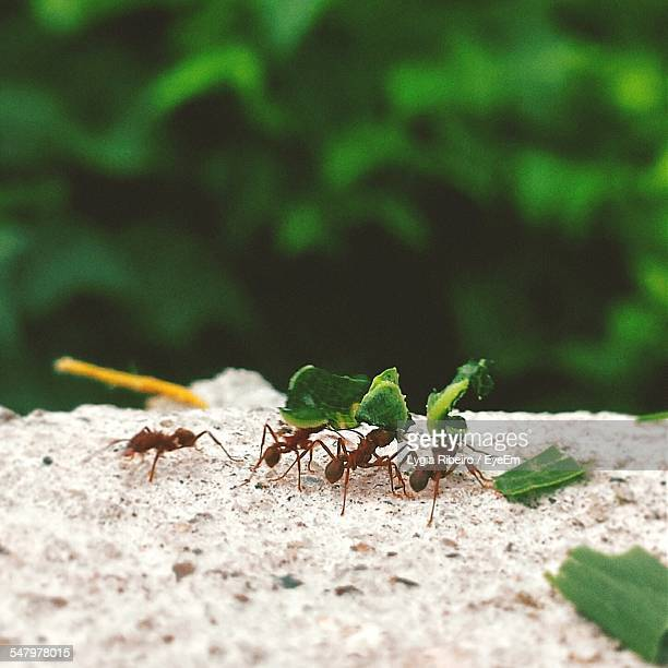 Ants Carrying Leaf On Rock In Forest