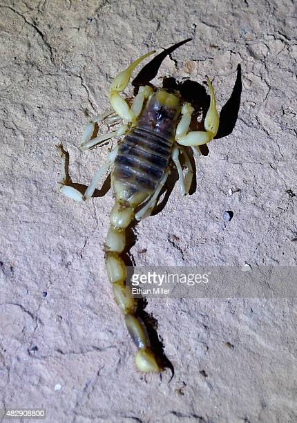 Ants climb on a dead Giant Desert Hairy Scorpion on August 3 2015 in the ghost town of St Thomas in the Lake Mead National Recreation Area Nevada The...
