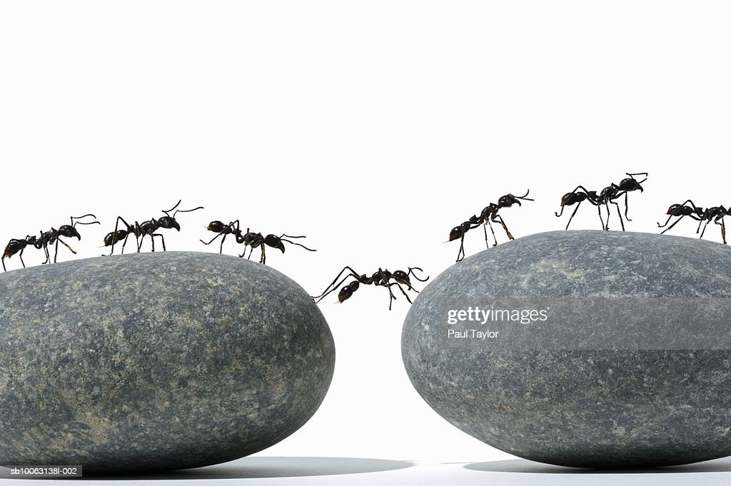 Ants (Eciton quadrigtume) crossing divide between two rocks, side view : Stock Photo