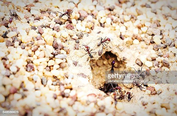 Ants Going Into Nest