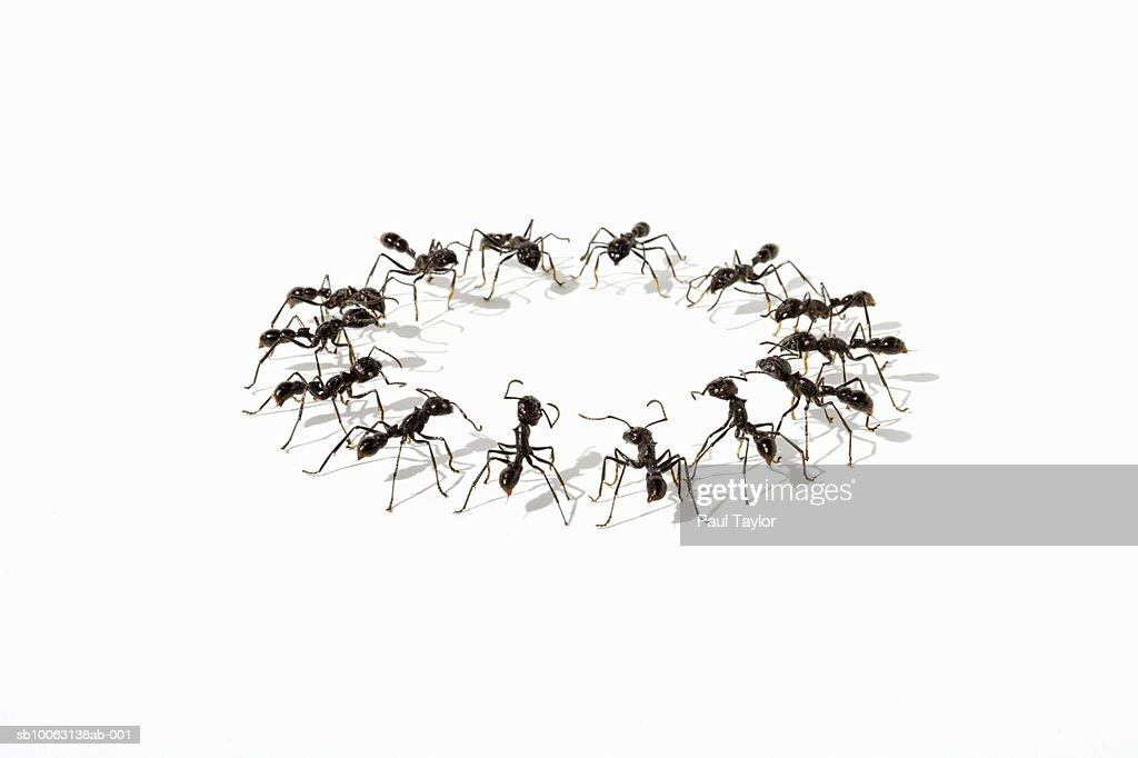 Ants (Eciton quadrigtume) in circle on white background : Stock Photo