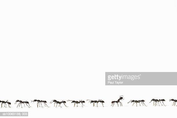 Ants (Eciton quadrigtume) in line, one facing opposite way, side view (Digital Composite)