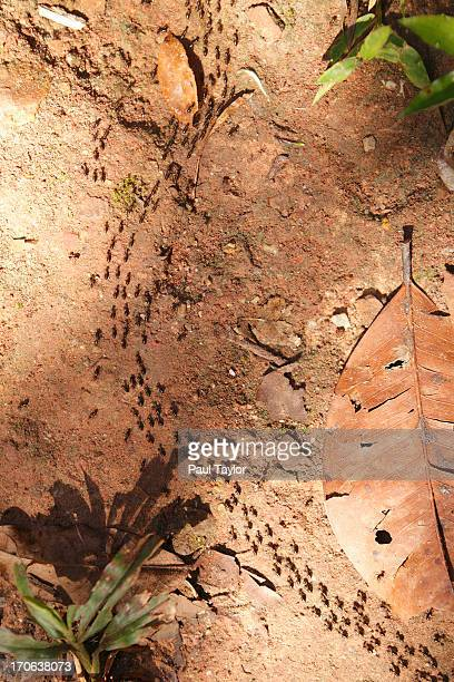 Ants Marching Through Forest