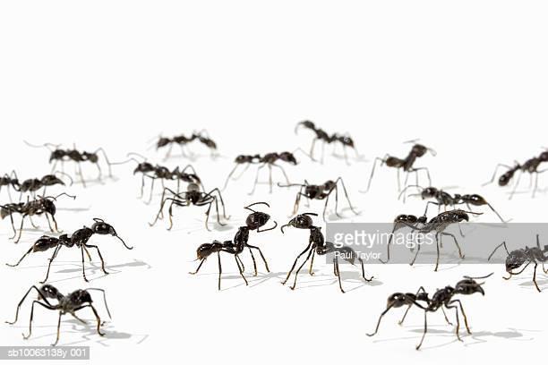 Ants (Eciton quadrigtume) on white background