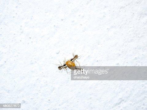 Cibo Ants lavoro in movimento : Foto stock