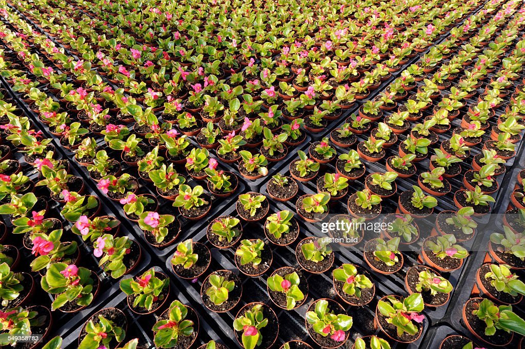 Gewächshaus Für Blumen, Pflanzenzuchtbetrieb