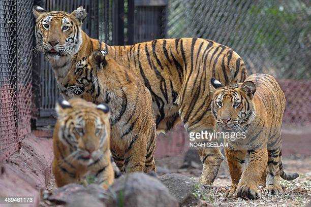 Aparna a female Bengal tiger keeps watch as her three ninemonth old cubs explore their enclosure at the Nehru Zoological Park in Hyderabad on...