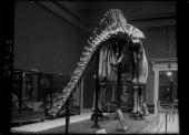Apatosaurus excelsus skeleton construction progress Field Columbian Museum Reptiles On display with framed photographs probably of expedition In the...