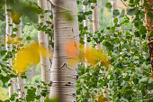 Aspen Trees in Park City (Deer Valley) Utah during the summertime.