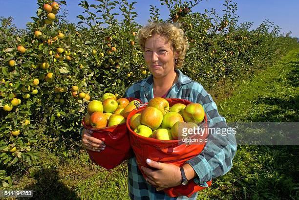 Apfelernte auf der Plantage des Obstgutes Stralsund Rügen Polnische Saisonarbeiterin pflueckt Tafelaepfel der Sorte ' Champion '