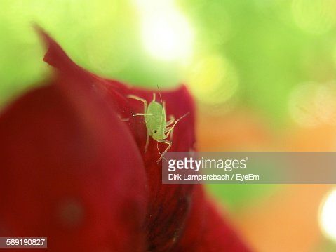 Aphid on flower