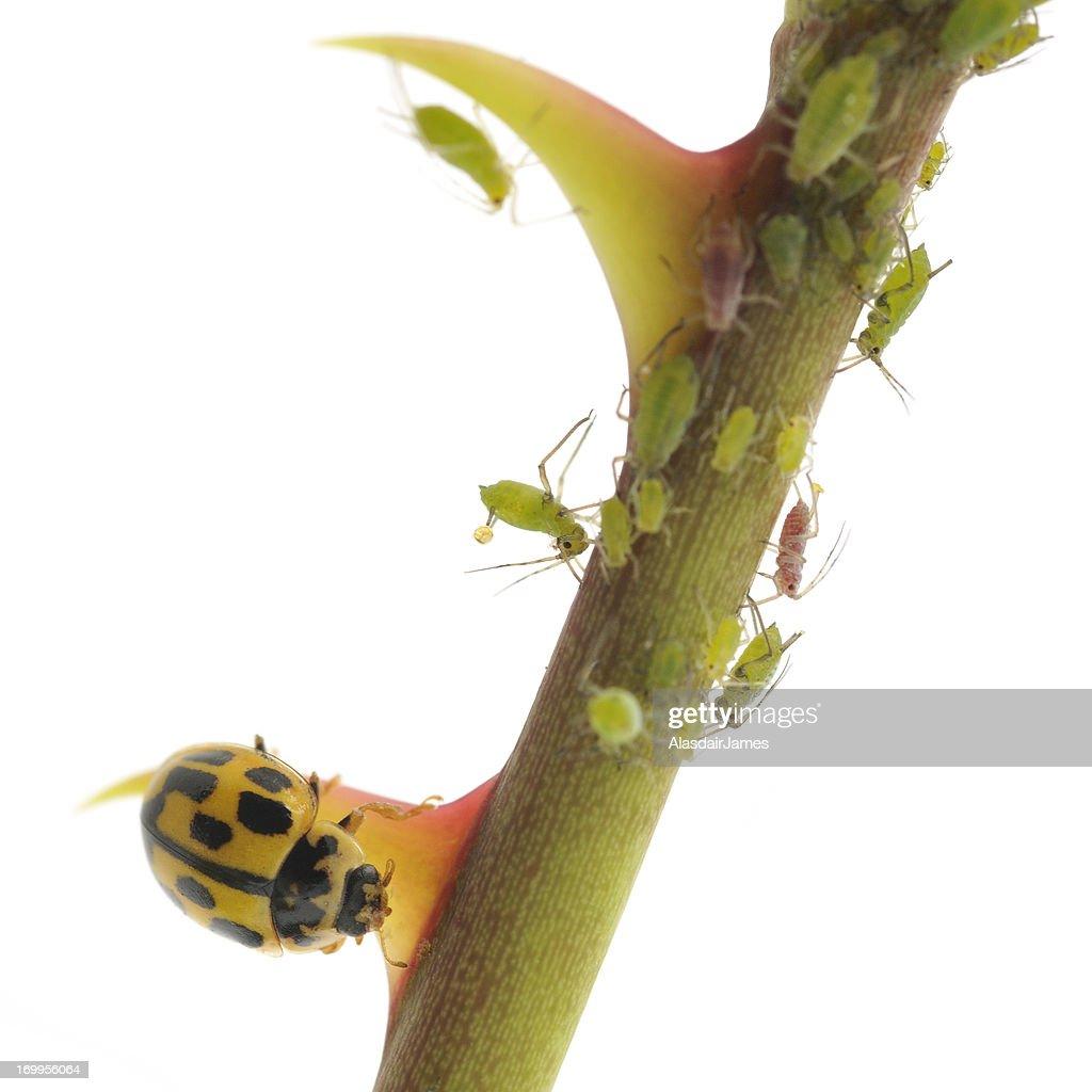 Aphid Verses Ladybird