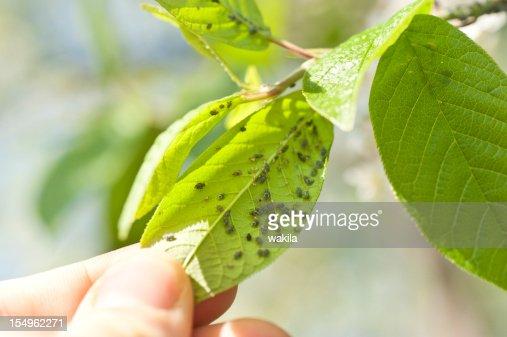 aphids - Läuse Schädlingsbefall