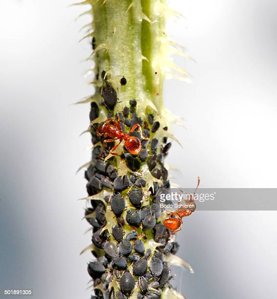 Aphids or Plant lice -Aphidoidea- on a thistle being milked by Ants -Formidicae-, Munich, Upper Bavaria, Bavaria, Germany