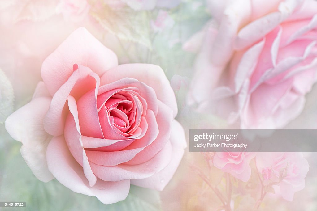 Aphrodite Soft Pink Rose