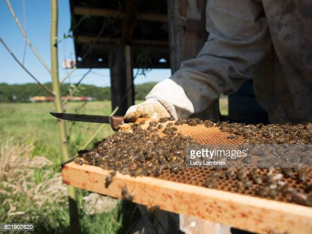 Apiarist inspecting a frame