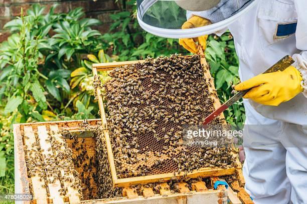 Apiarist inspecting beehive