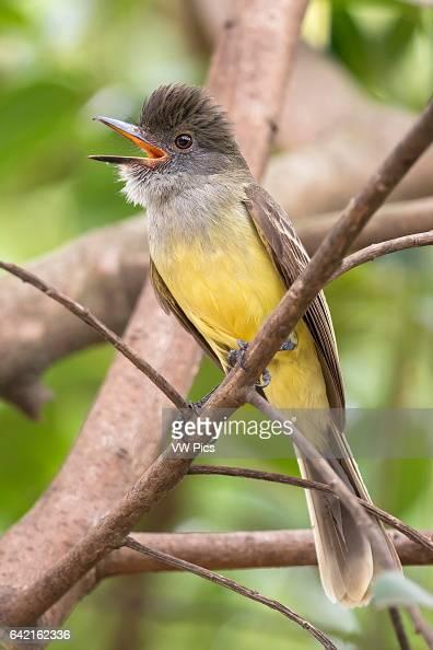 Apical Flycatcher Cali Valle del Cauca