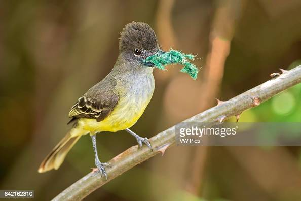 Apical Flycatcher laguna de Sonso Buga Valle del Cauca