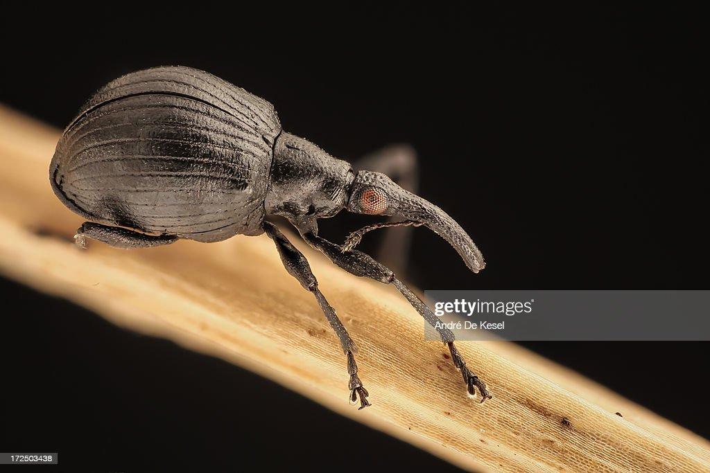 Apion weevil