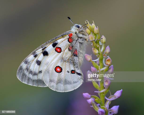 Apollo Butterfly -Parnassius apollo- on a Short-spurred Fragrant Orchid -Gymnadenia odoratissima-, Swabian Alb biosphere reserve, Baden-Wurttemberg, Germany