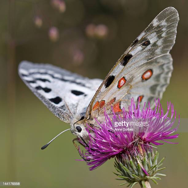 Apollo Butterfly (Parnassius apollo)