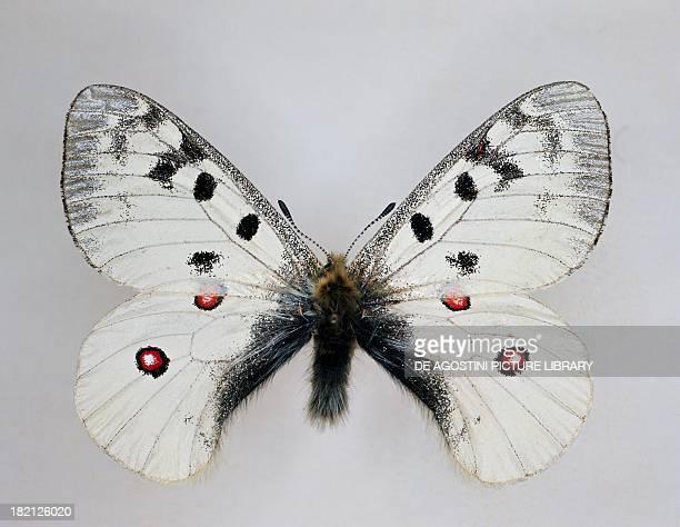 Apollo or Mountain Apollo butterfly Papilionidae verso