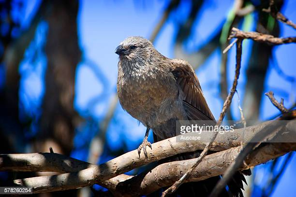 Apostle bird Struthidea cinerea also known as the Grey jumper it roams woodlands eating insects and seeds at or near ground level Apostle birds often...