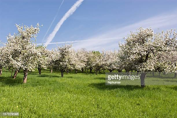 Apple blossom im Frühling