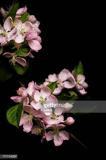 Apfelbaum-Blüte, isoliert auf schwarzem Hintergrund