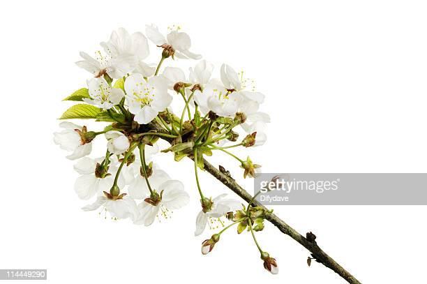 Apfelbaum-Blüte, isoliert auf weiss