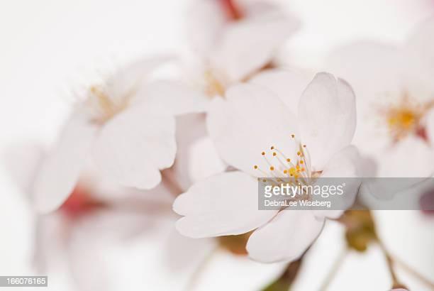Fleur de pommier Series