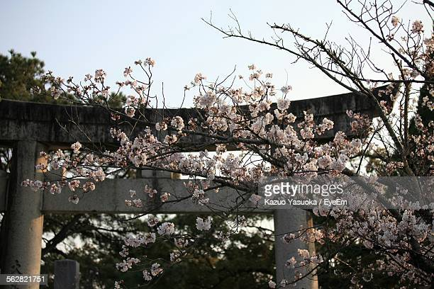 Apple Blossoms In Spring With Torii Gate In Background