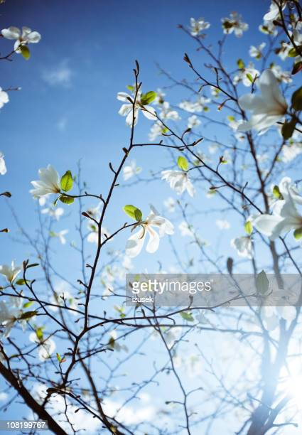 Apple Blossoms on Sunny Day