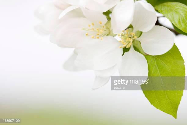 Apple Blüten