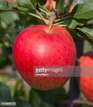 Apple garden : Stock Photo