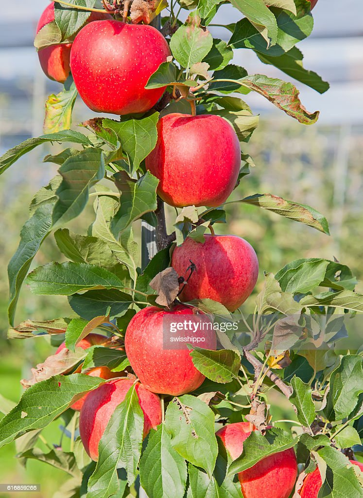 Apple garden : Stock Photo