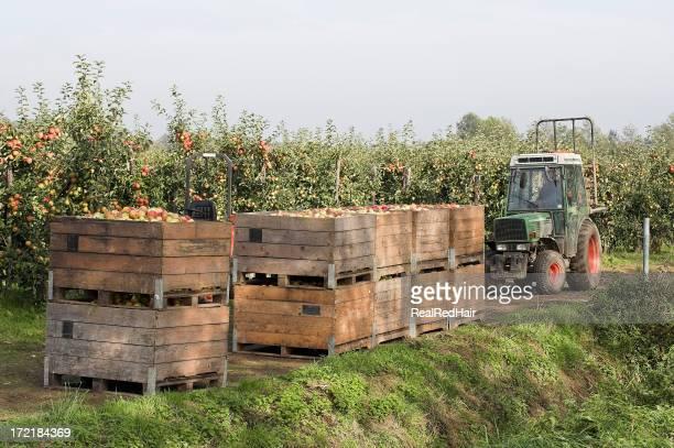 Apple vendemmia in Olanda!