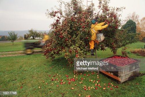 Apple harvest : Stock Photo