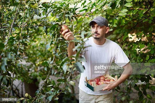 De Apple Harvest