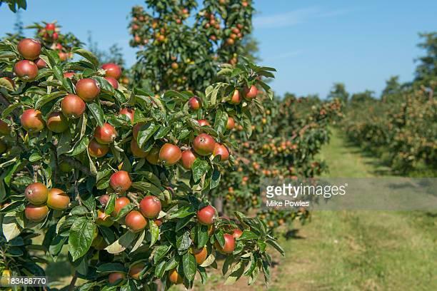 Apple 'Norfolk Royal', ripe fruit, Norfolk UK