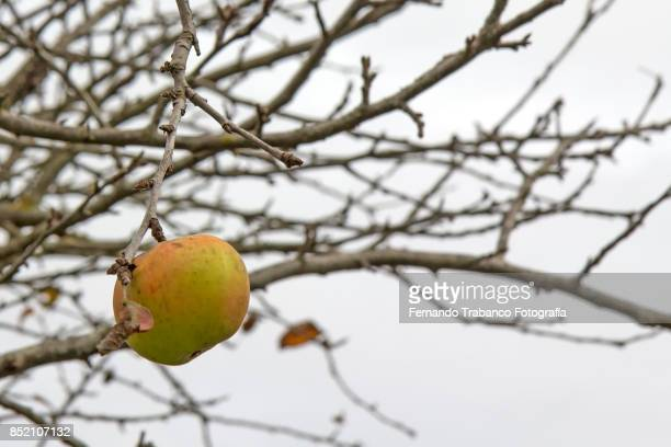 apple on a dry tree