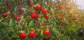 an apple grows on a tree