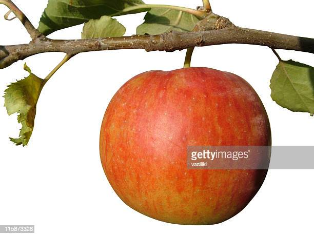 Apple on the tree (with clipping path)