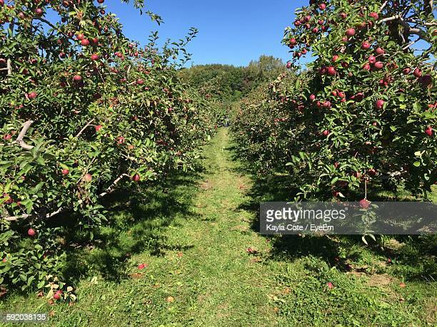 Apple Orchard Against Clear Blue Sky