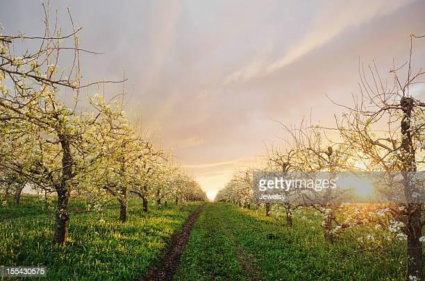Pomar de macieiras em Twighlight