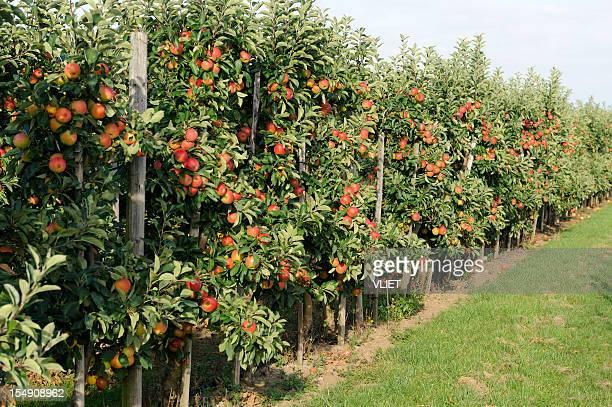 Pomar de macieiras