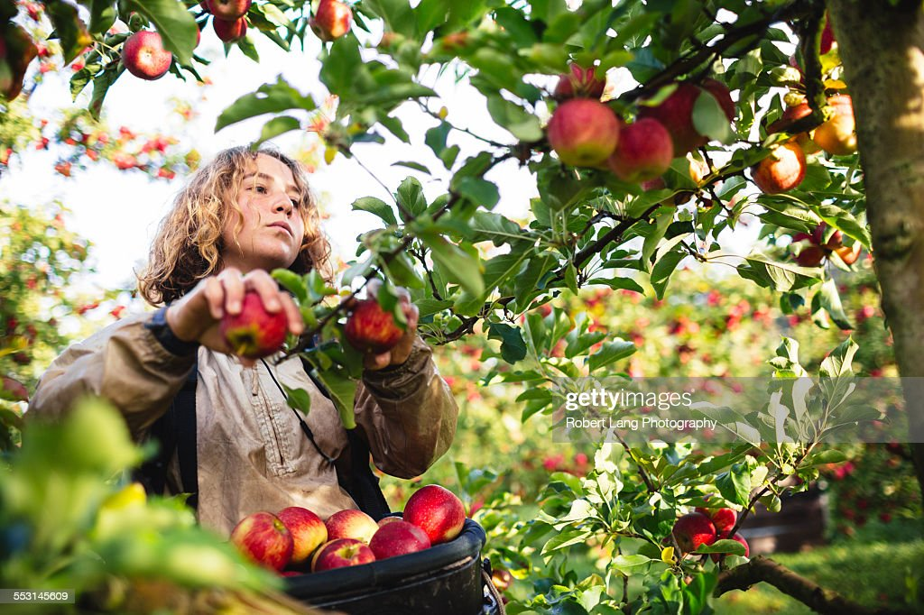 Apple picking during harvest in a fruit orchard