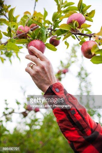 Apple Picking : Stock Photo
