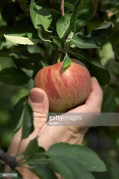Apple Apanhar Frutos